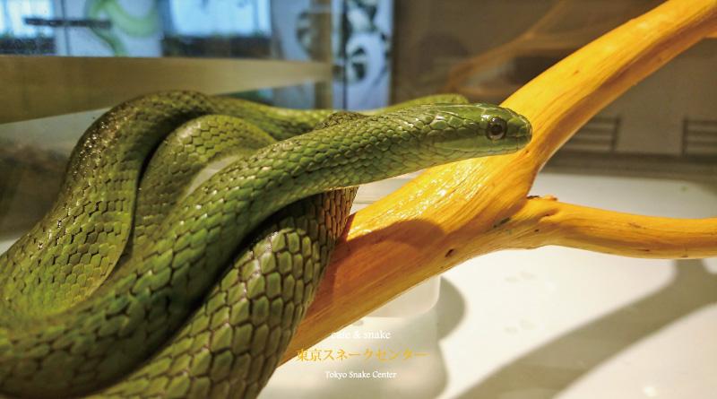 ヘビもおだてりゃ
