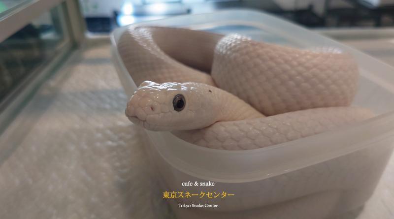白ヘビ人気再燃~キョロちゃん~